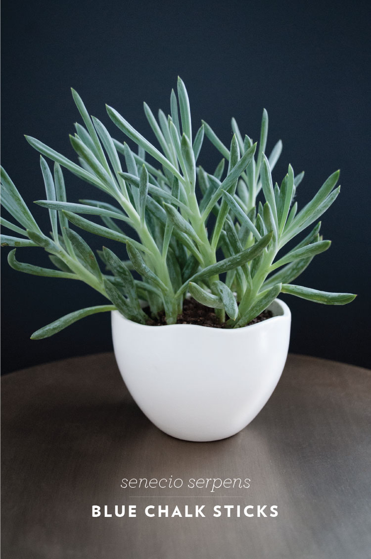 Blue chalk sticks plant - Blue Chalk Sticks Snake Plant