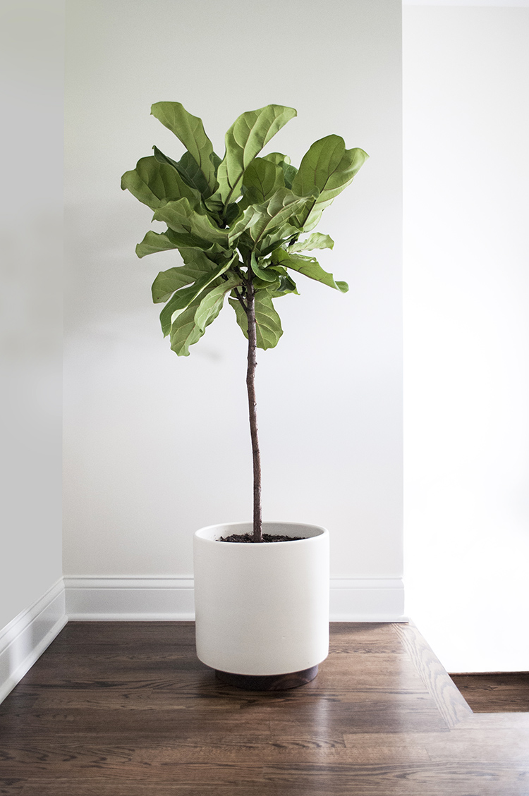 Fiddle Leaf Fig Archives Room For Tuesday