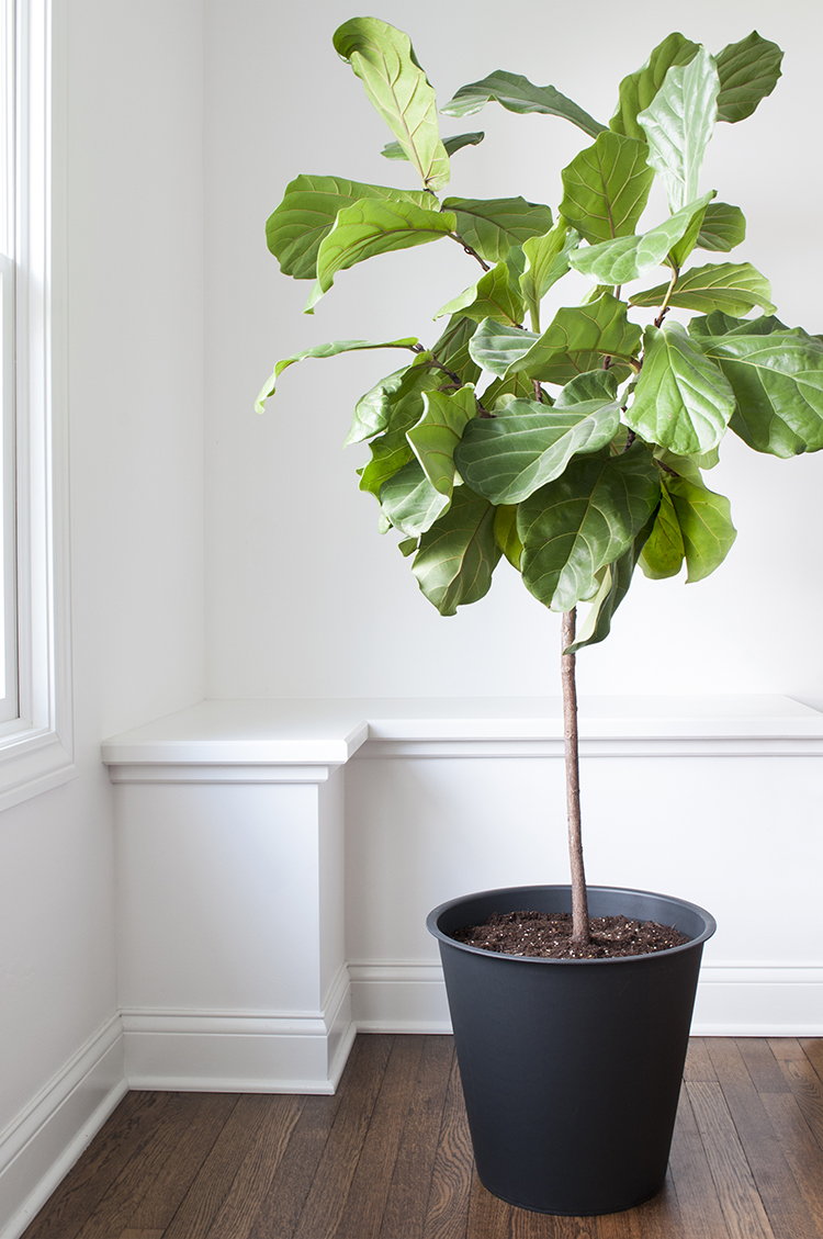 ficus lyrata fiddle leaf fig - Fiddle Leaf Fig Tree