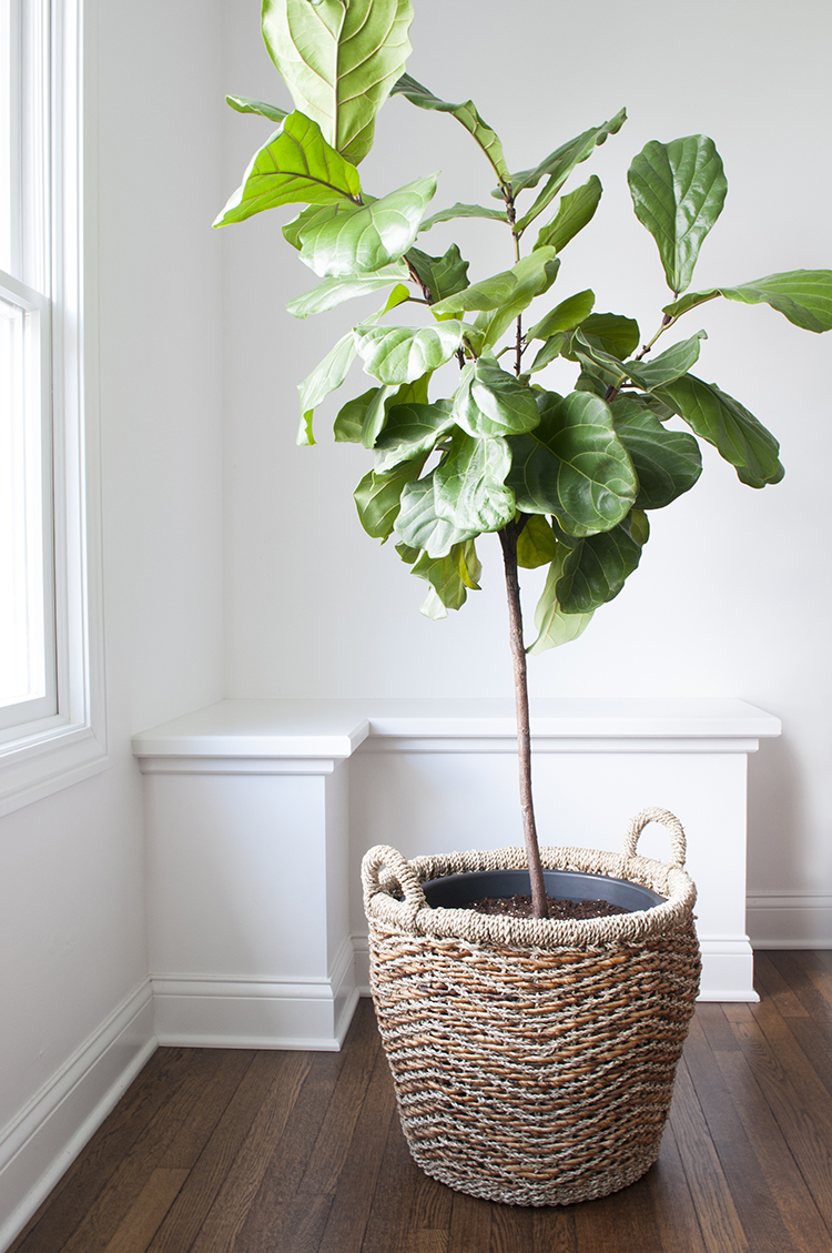 fiddle leaf fig tree in basket