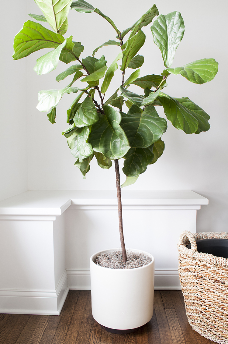 fiddle leaf fig tree in modern planter