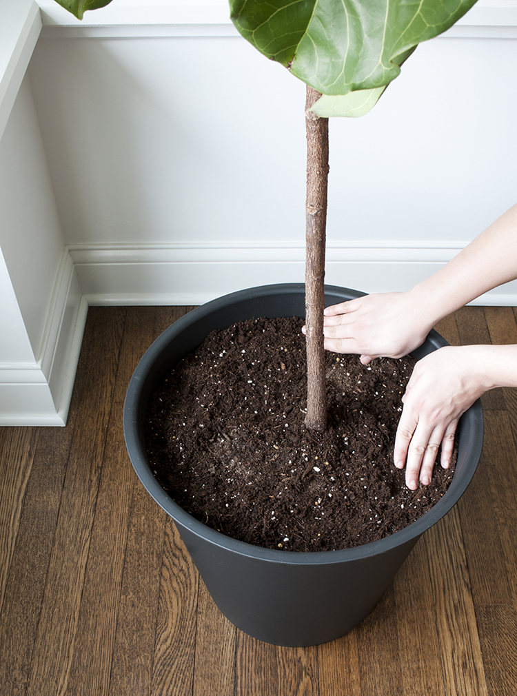 repotting a fiddle leaf fig tree