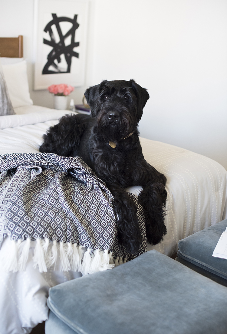 Giant Schnauzer in a Chic Bedroom